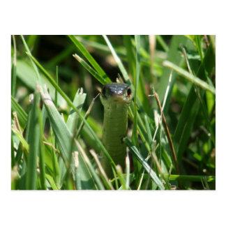 Red Sided Garter Snake in the Grass Postcard