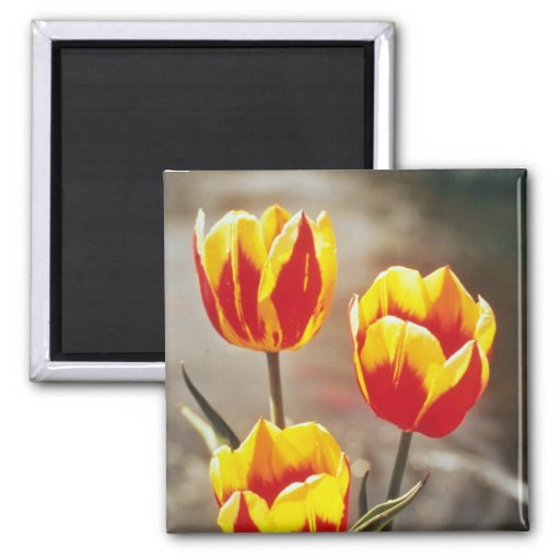 Red Single early tulips, Keizerschroon flowers Refrigerator Magnets