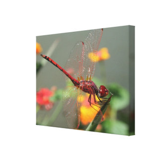 Red Skimmer or Firecracker Dragonfly With Lantana Canvas Print