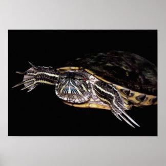 Red Slider Turtle Poster