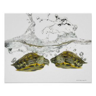 Red slider turtles poster