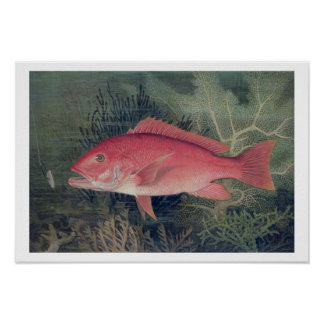 Red Snapper, from 'Game Fishes of the United State Poster
