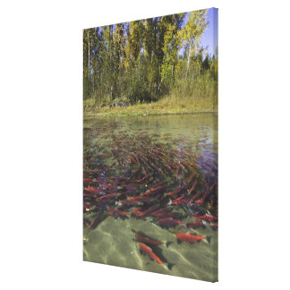 Red Sockeye salmon milling in calm eddy and Canvas Print