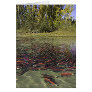 Red Sockeye salmon milling in calm eddy and Cards