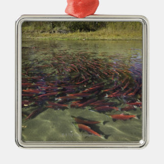 Red Sockeye salmon milling in calm eddy and Metal Ornament