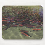 Red Sockeye salmon milling in calm eddy and Mouse Pad