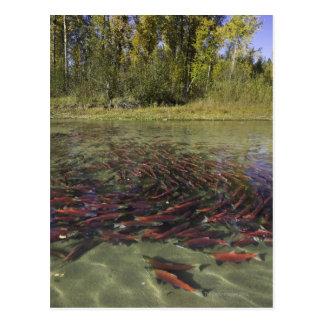 Red Sockeye salmon milling in calm eddy and Postcard