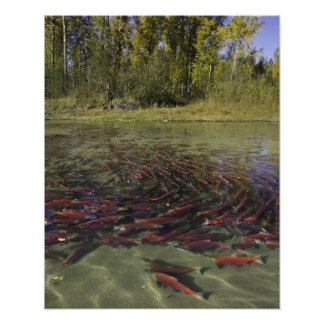 Red Sockeye salmon milling in calm eddy and Poster