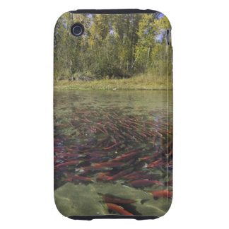 Red Sockeye salmon milling in calm eddy and Tough iPhone 3 Case
