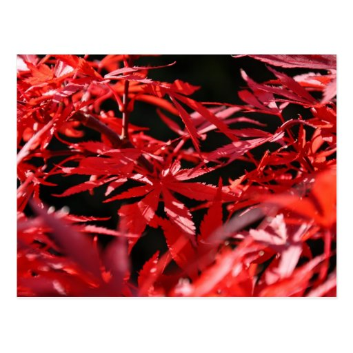 Red specialized maple (Acer palmatum) Postcard