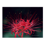 Red spider lilies postcard
