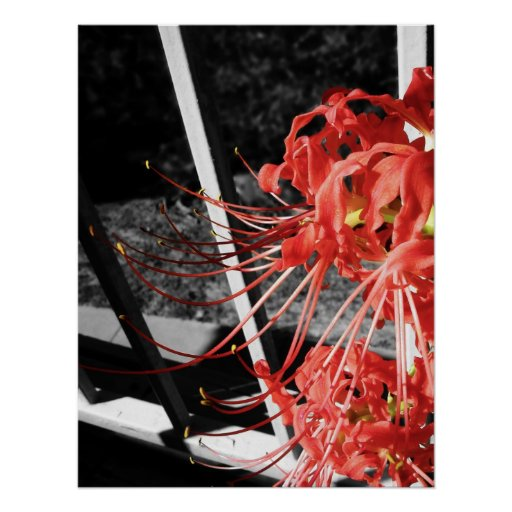 Red Spider Lilly Print