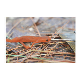 Red Spotted Newt Wrapped Canvas