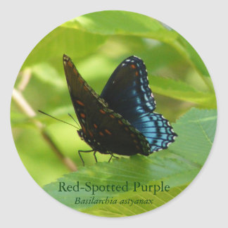 Red-Spotted Purple Butterfly on an Elm Leaf Classic Round Sticker