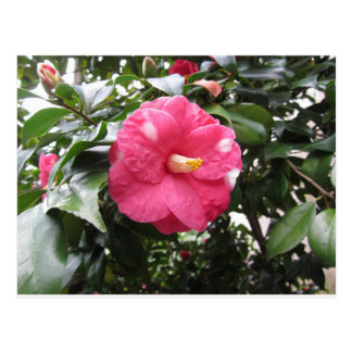Red spotted white flower of Camellia Marmorata Postcard