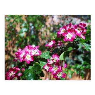 Red Spring Hawthorn Postcard