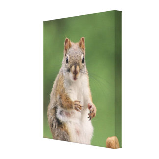Red squirrel canvas print.