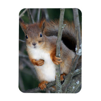 Red Squirrel Closeup Magnet