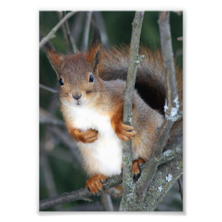 Red Squirrel Closeup Photograph