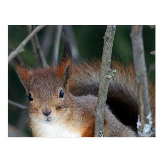 Red Squirrel Closeup Postcard