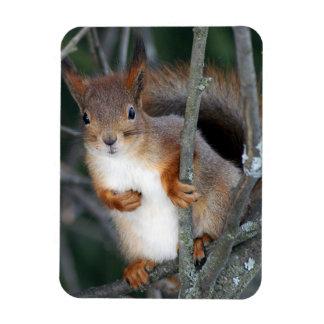 Red Squirrel Closeup Rectangular Photo Magnet