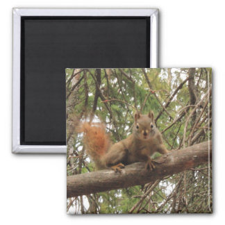 Red Squirrel Magnets