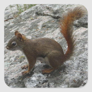 Red Squirrel on a Rock Square Sticker