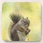 Red Squirrel, Pine Squirrel, Tamiasciurus Coasters