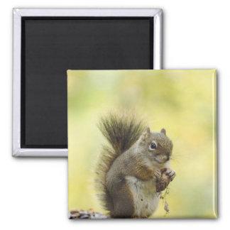 Red Squirrel, Pine Squirrel, Tamiasciurus Refrigerator Magnets