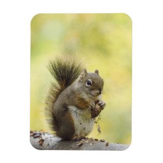 Red Squirrel, Pine Squirrel, Tamiasciurus Magnets