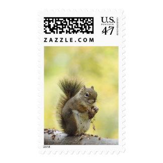 Red Squirrel, Pine Squirrel, Tamiasciurus Postage Stamp
