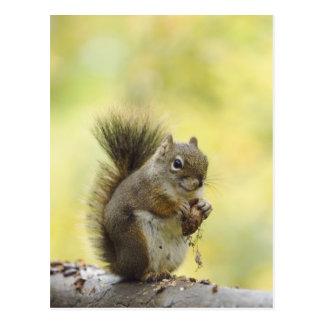 Red Squirrel, Pine Squirrel, Tamiasciurus Postcard