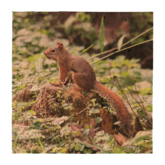 Red Squirrel Drink Coasters