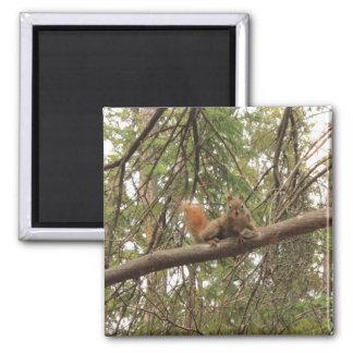 Red Squirrel Refrigerator Magnet