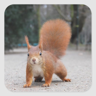 Red Squirrel Square Stickers