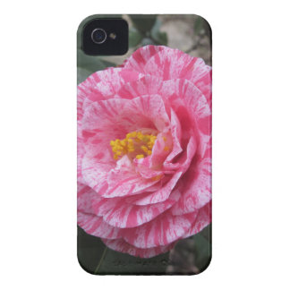 Red streaked white flower of Camellia japonica Case-Mate iPhone 4 Case