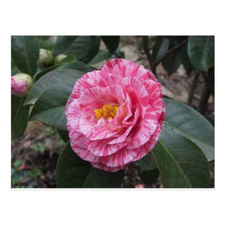 Red streaked white flower of Camellia japonica Postcard
