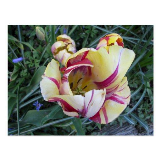 Red swirls yellow Tulips Postcard