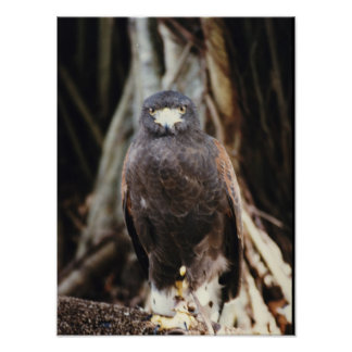 Red Tail Hawk Bird Photography Poster