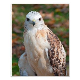 Red Tail Hawk Closeup Photograph