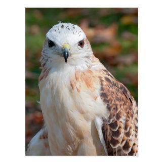 Red Tail Hawk Closeup Postcard