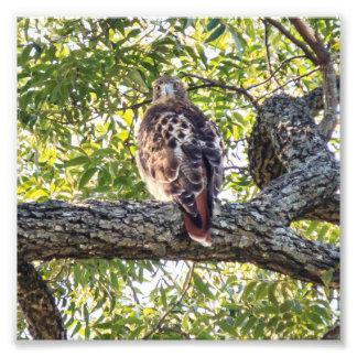 Red Tail Hawk Photo Print