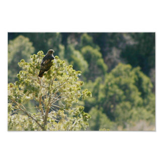 Red-tail Hawk Posters