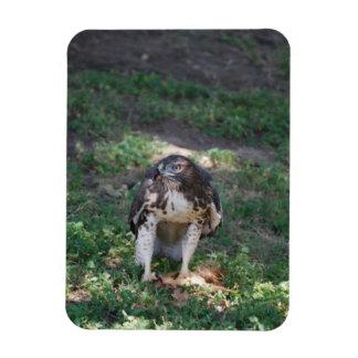Red Tail Hawk Rectangular Photo Magnet
