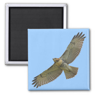 red-tail soaring Magnet