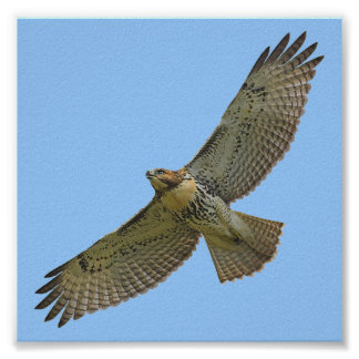 red-tail soaring poster