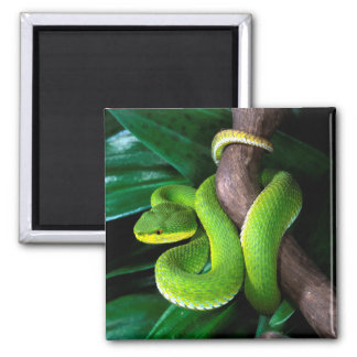 Red-tailed bamboo pitviper 2 inch square magnet