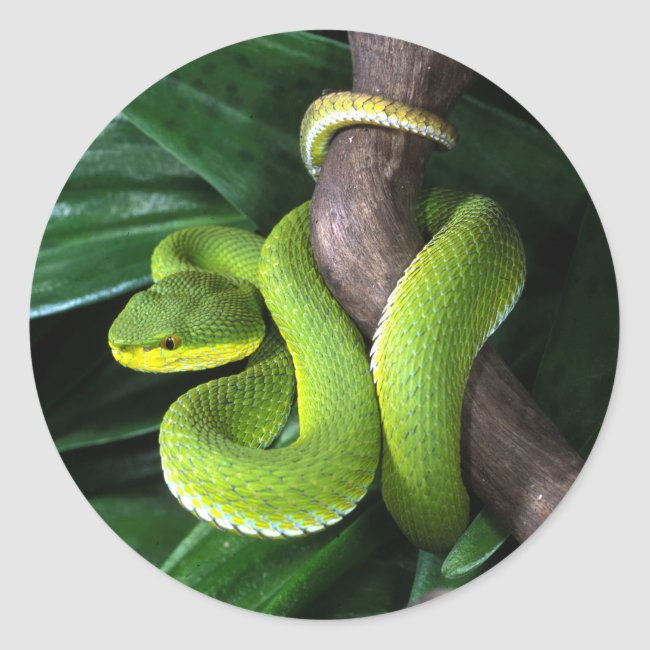 Red-tailed bamboo pitviper