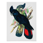 Red tailed, Black (Banksian) Cockatoos. Poster