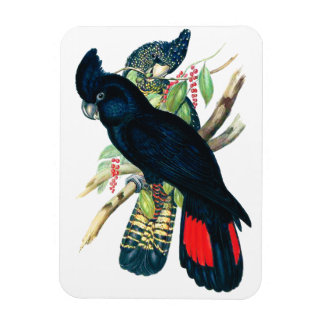 Red tailed Black Banksian Cockatoos Vinyl Magnets